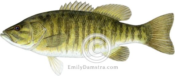 smallmouth bass illustration micropterus dolomieu