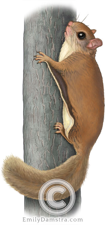 Southern flying squirrel illustration Glaucomys volans
