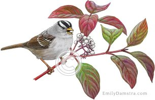 White-crowned sparrow on Red osier dogwood- Emily S. Damstra