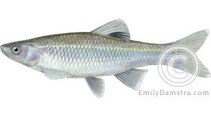 Spotfin shiner Cyprinella spilopterus illustration
