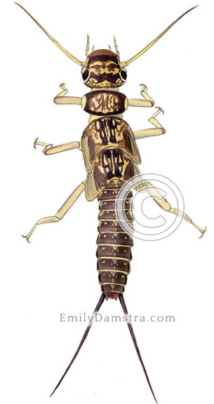 Stonefly larva illustration