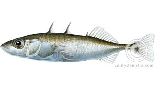 Threespine stickleback Gasterosteus aculeatus illustration