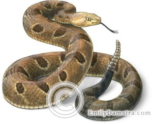 Timber rattlesnake illustration – Emily S. Damstra
