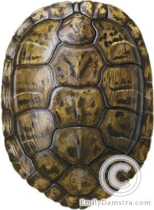 Red-eared Slider carapace Trachemys scripta elegans illustration
