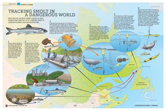 smolt, atlantic salmon, tracking