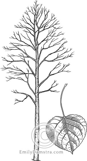 Trembling (or quaking) aspen illustration Populus tremuloides