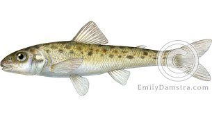 Trout-perch Percopsis omiscomaycus illustration
