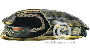 cryptodire turtle neck anatomy illustration