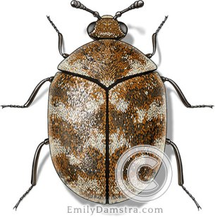 Varied carpet beetle illustration Anthrenus verbasci