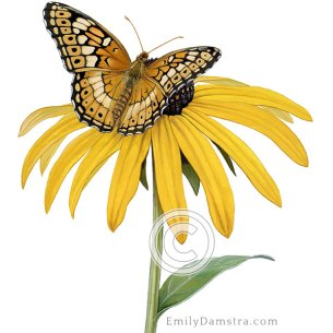 Variegated fritillary on black-eyed susan – Emily S. Damstra