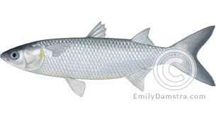 White mullet illustration Mugil curema