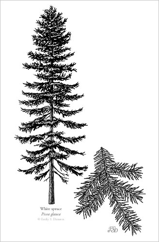 white_spruce_print