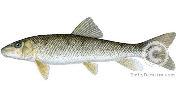 White sucker Catostomus commersonii illustration