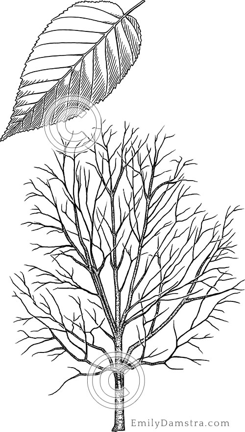 Yellow birch illustration Betula alleghaniensis