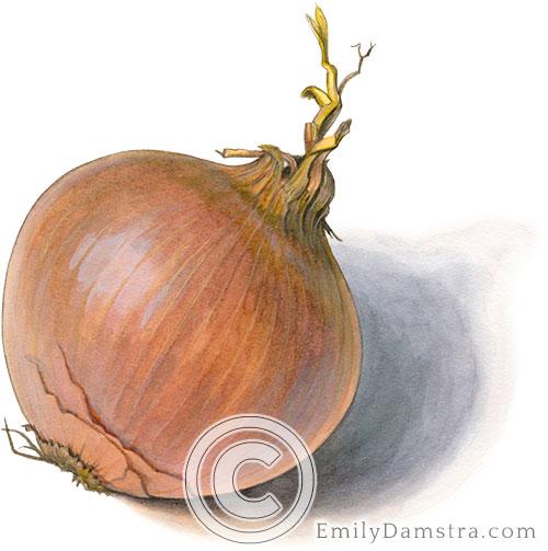 Yellow onion illustration