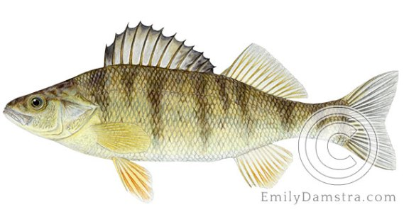 Yellow perch Perca flavescens illustration