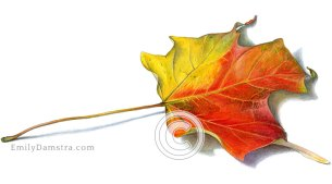 Yellow and red maple leaf illustration