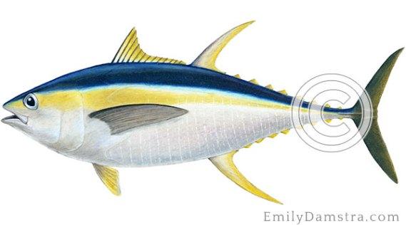Yellowfin tuna illustration Thunnus albacares