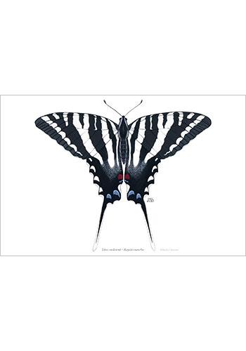 zebra_swallowtail_print
