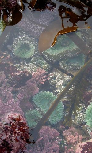 A tidepool on the Olympic Peninsula