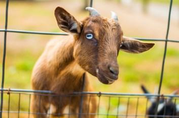oct14-goat7