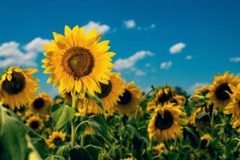 Sunflower-13v2