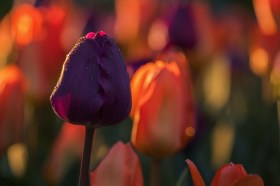April2-Tulips-11