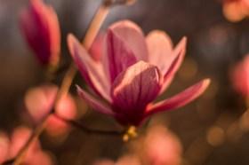 March8-Magnolias-12