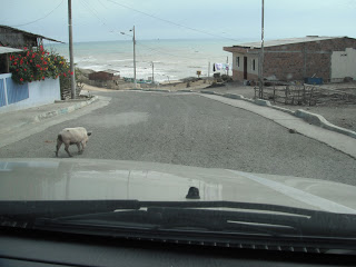 Second pig crossing road