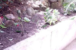 Four baby iguanas