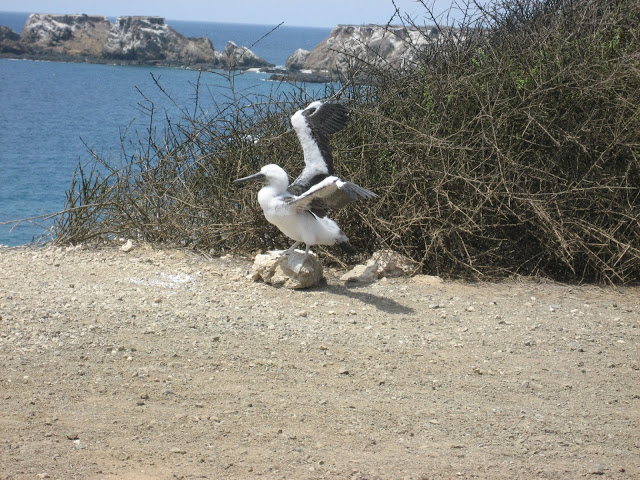Six month old blue footed booby strengthening wings