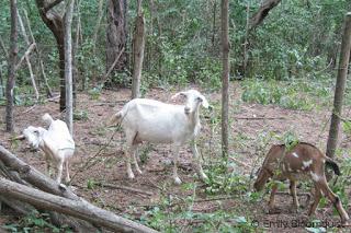 Goats in Agua Blanca