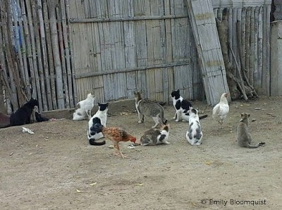 Cats, chicken, rooster