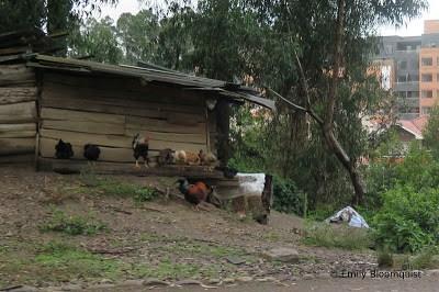 Roosters and hens in Cuenca, Ecuador