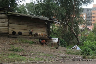 Roosters and hens in Cuenca, Ecuador
