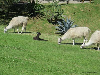 Young llama resting among adult llamas