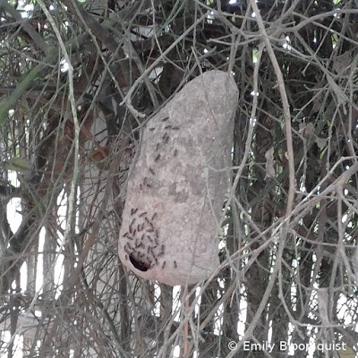 Wasp nest hanging from tree