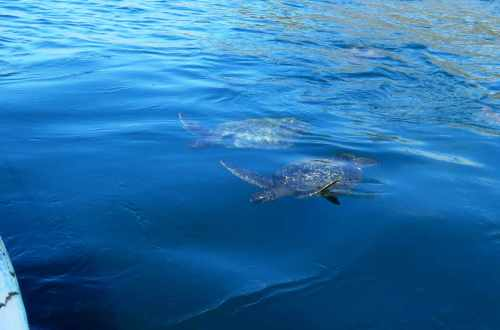 Two sea turtles swimming in the ocean