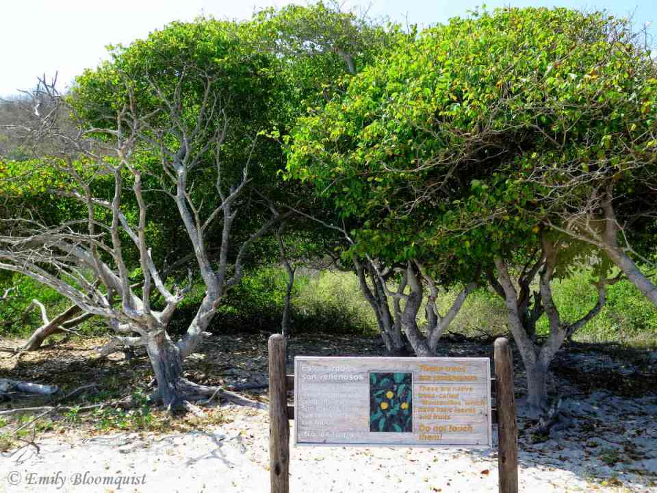 Poisonous Manzanillo trees in Los Frailes