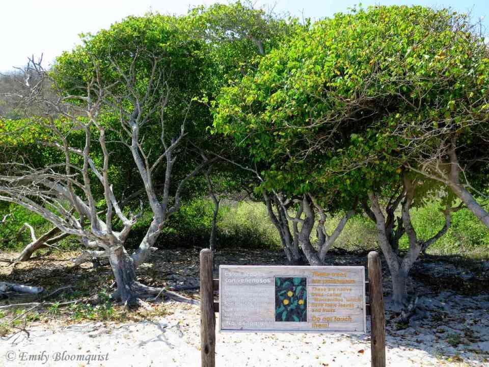 Poisonous Manzanillo trees in Los Frailes