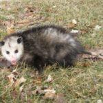 The Opossum's Rebuttal