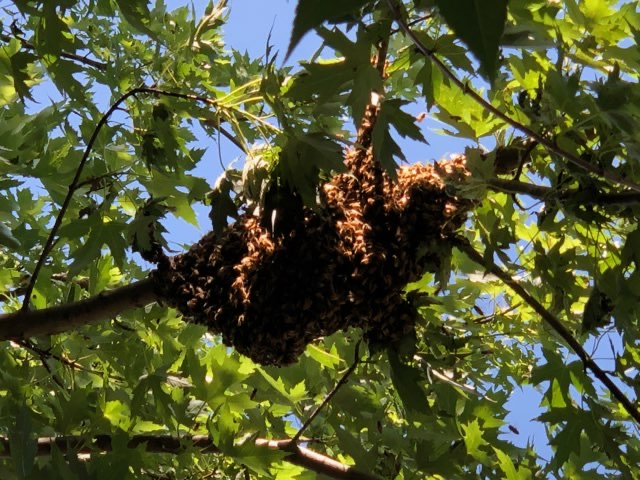 Bees in the backyard