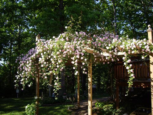 Rose Covered Pergola Emily S Garden