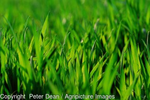 Leaves of young wheat crop healthy