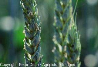 Growing wheat crop. Still green. Close up green ears. 1999