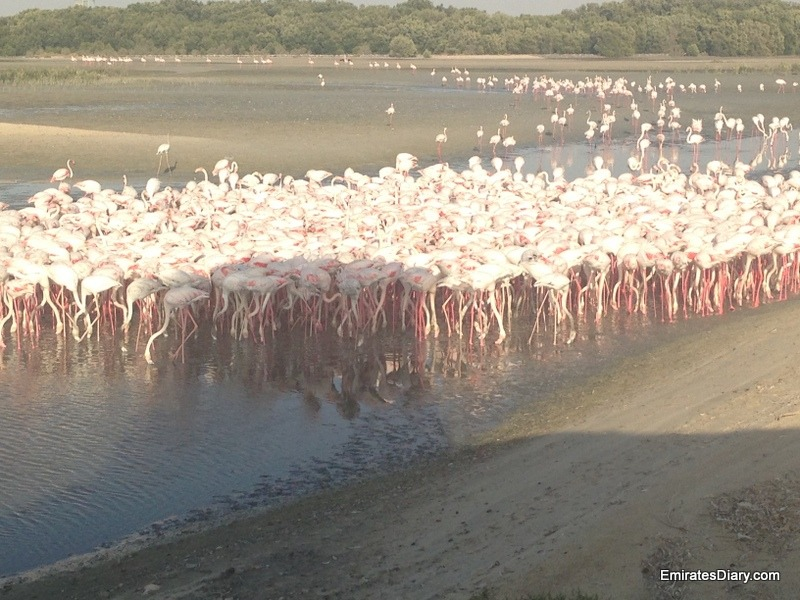 ras-al-khor-wildlife-santuary-pictures-04