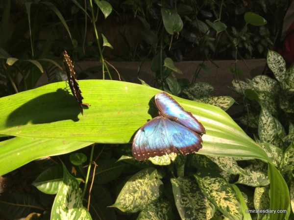 28-butterfly-garden-dubai-pictures-2015-emiratesdiary-028