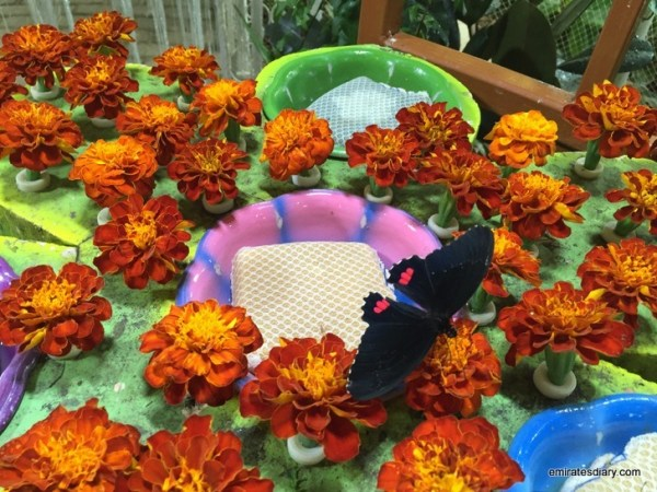 50-butterfly-garden-dubai-pictures-2015-emiratesdiary-050