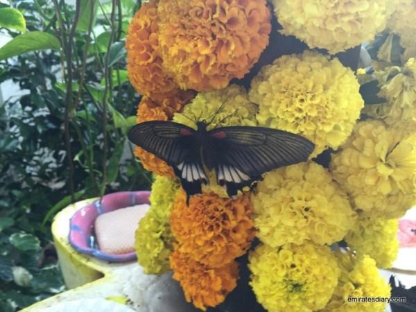 72-butterfly-garden-dubai-pictures-2015-emiratesdiary-072
