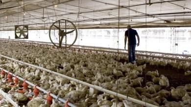 Photo of Criadores de pollos quieren «cortar rutas» por falta de precios justos